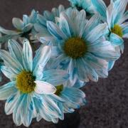 Experiência em Biologia colore pétalas de flores